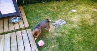 12-Week-old-pomsky-puppy-playing-with-cat-toy