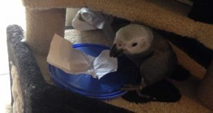 Baby-African-Grey-Squizzy-being-silly-on-the-cat-scratcher