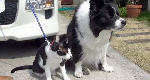 Cat-and-border-collie.Cat-to-Sit-Cats-and-dogs-to-wear-a-matching-clothes