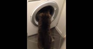 Cat-tries-to-help-the-washing-machine-clean-the-clothes