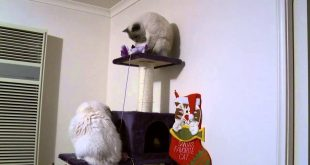 Cats-playing-on-the-cat-tower-PoathCats-PoathTV-Floppy-Ragdoll-Cats
