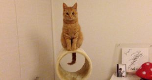 Cute-Kitty-Hiroshi-On-Top-of-Cat-Tower