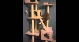 Cute-raccoon-Roper-playing-on-the-cat-tower