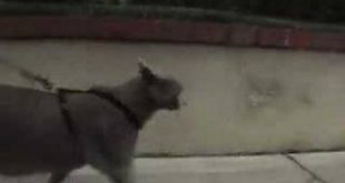 How-to-walk-a-cat-on-a-leash-and-harness-Russian-Blue