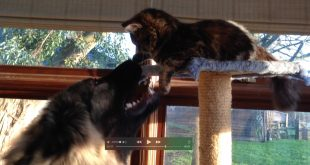 Jasmine-the-Kitten-and-Zeus-the-dog-face-off-on-the-Cat-Tower