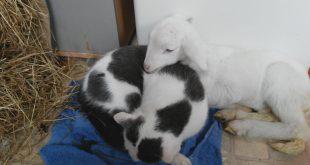 Little-ram-and-ignorant-cat