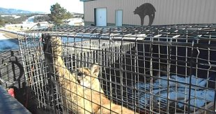 Mountain-Lion-caught-in-cage-for-Bob-cat-trapping