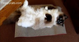 Ragdoll-Cat-Charlie-on-Sleeky-Lounge-XL-Cardboard-Cat-Scratcher-Floppycats
