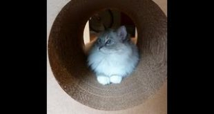Ragdoll-Cat-Trigg-on-Karma-Products-Karma-Kube-Cardboard-Cat-Scratcher-Floppycats