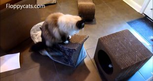 Ragdoll-Cats-Receive-Imperial-Cat-Tower-Cardboard-Cat-Scratcher-for-Review-Floppycats