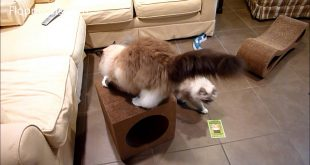 Ragdoll-Cats-Receive-Karma-Cube-Cardboard-Cat-Scratcher-for-Review-Floppycats