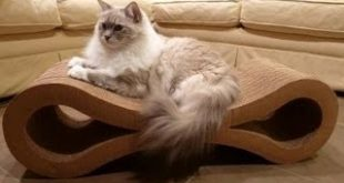 Ragdoll-Cats-Scratch-Karma-Products-Infinity-Cat-Scratcher-Floppycats