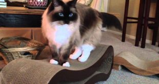 Ragdoll-cat-gets-Pet-Fusion-Scratcher