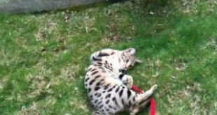 Savannah-Cat-F2-Walking-on-harness.MOV