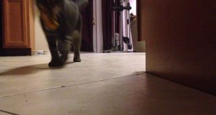 Toby-the-Poly-dactyl-Cat-Fetching-his-toy.