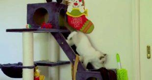 Valentino-climbs-the-cat-tower-PoathCats-PoathTV-Floppy-Ragdoll-Cats